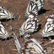 Caper white butterfly - 50+ butterflies over the ground. Capparis arborea is a rainforest food tree.