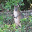 Pademelon - Thylogale thetis. Pademelons have small,compact-bodies.They inhabit the rainforest and wet sclerophyll particularly the edges.