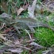 Southern angle headed dragon. Rainforest habitat Eastern Australia