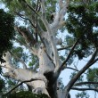 Sydney Blue Gum. Big old emergent tree