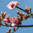 Brachichiton discolour Kurrajong Pink flowers in summer.